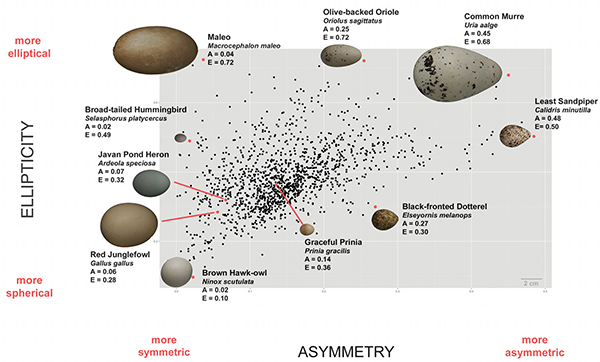 Average egg shapes for each of 1400 species (black dots), illustrating variation in asymmetry and ellipticity. (Image courtesy of L. Mahadevan/Museum of Vertebrate Zoology, Berkeley)