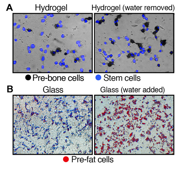 Researchers find that in stem cells, removing water condenses the cell, influencing the stem cells to become stiff pre-bone cells, while adding water causes the cells to swell, forming soft pre-fat cells.