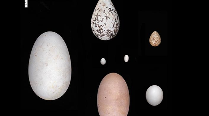 New study finds birds may have evolved elliptical or asymmetric eggs to maintain streamlined bodies for flight