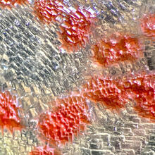 SEAS researchers have found that these pink-hued archaea — called Halobacterium salinarum — use the same mechanisms to maintain size as bacteria and eukaryotic life, indicting that cellular division strategy may be shared across all domains of life. (Image courtesy of Alexandre Bison/Harvard University)
