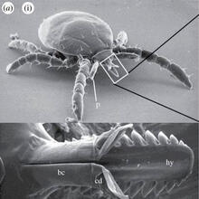 Mouth of a tick
