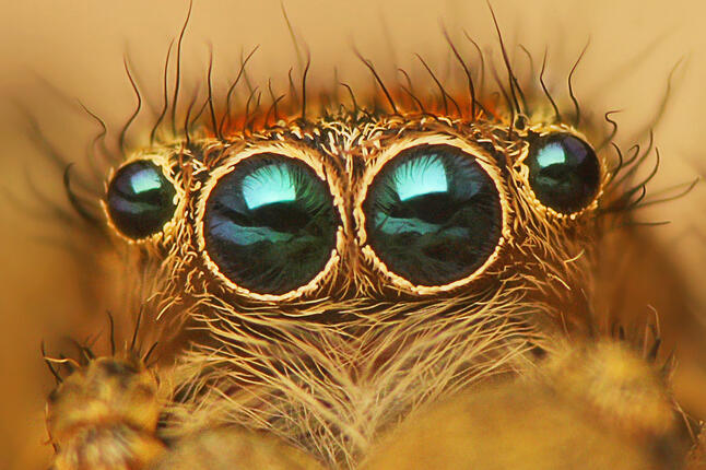 The eyes of a jumping spider.