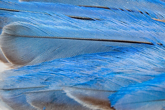 image of bluebird feathers