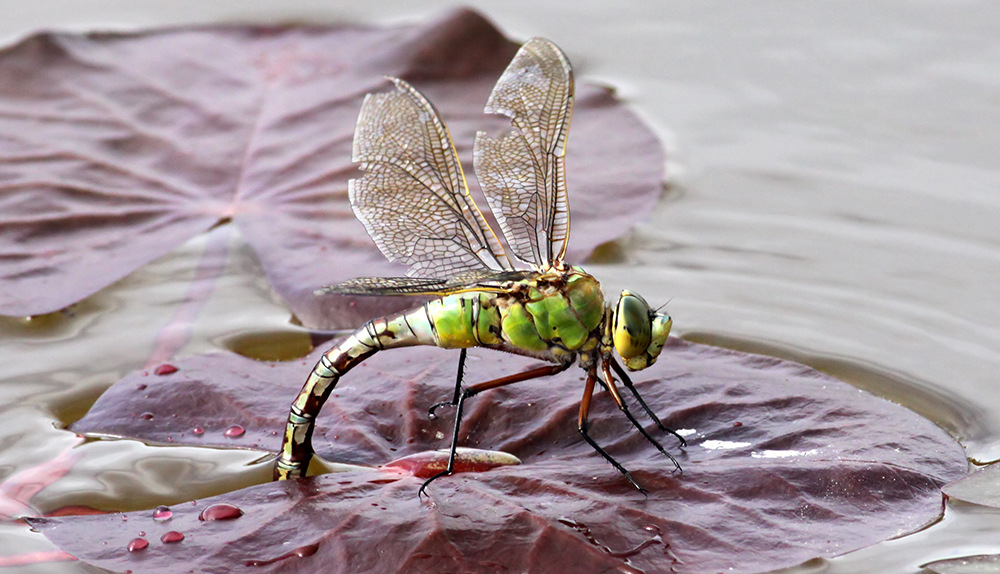 Dragonflies have particularly elaborate vein patterns. Researchers have developed a new model that sheds light on how nature generates these patterns. (Image courtesy of WikiCommons)