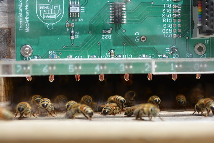 To determine how bees organize to cool their nests, researchers measured temperature, air flow into and out of the nest, and the position and density of bees fanning at the nest entrance. (Image courtesy of Jacob Peters/Harvard SEAS)