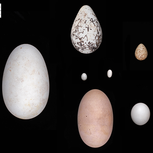 New study finds birds may have evolved elliptical or asymmetric eggs to maintain streamlined bodies for flight (Credit: Museum of Comparative Zoology and Harvard University)