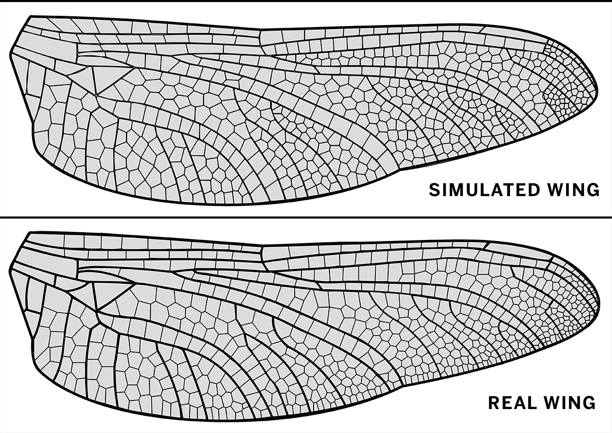A visualization of a real hindwing of the dragonfly Dromogomphus spinosus and a a simulation of the veins for the same wing. (Image courtesy of Jordan Hoffmann and Seth Donoughe/Harvard University).
