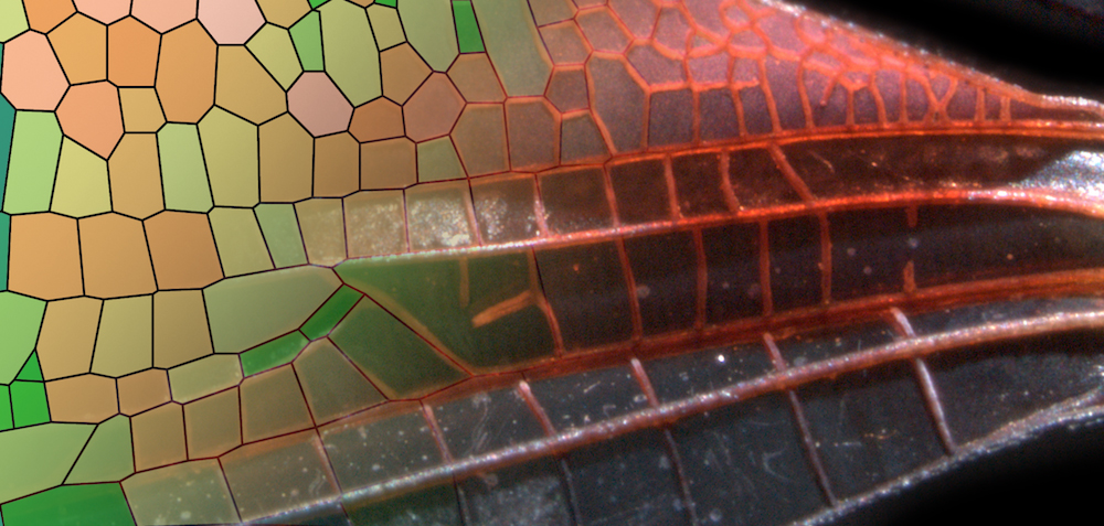 Wing of the damselfly Hetaerina americana, with polygonized vein domains colored by their circularity. (Image courtesy of Seth Donoughe and Jordan Hoffmann/Harvard University)